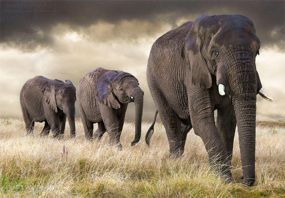 An-elephant-family-is-taking-a-walk-by-marcelvanbalken-Netherlands-